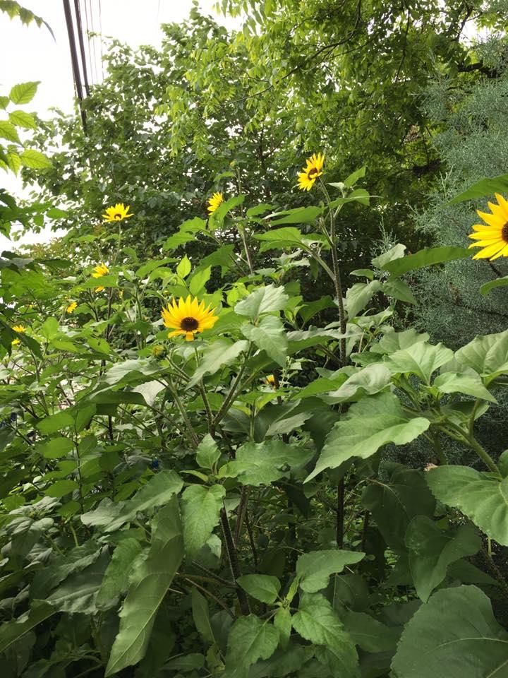 Sunflowers - Summer