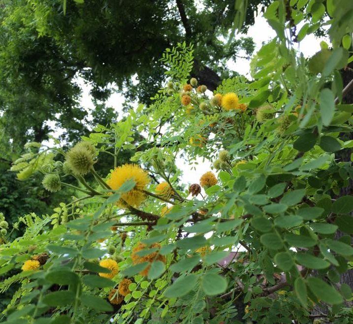 Gold Ball Tree
