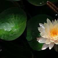Water Lilly - All Summer
