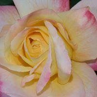 Roses - All Summer